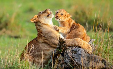 Lion cub, lion, predator, play, wildlife