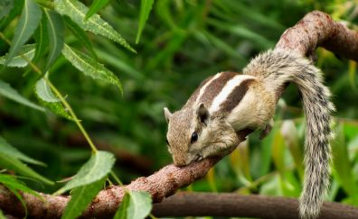 Chipmunk rodent lies on branches
