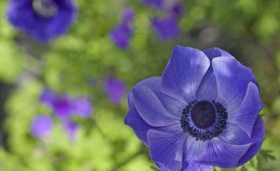 Anemone purple flower, blur