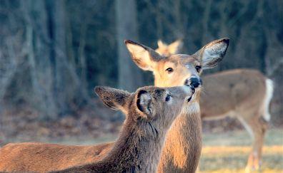 Deer kiss, wild animal
