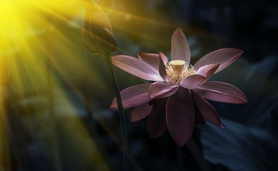 Pink lotus flower sunlight