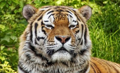 Tiger, big cat, wild animal, predator, relaxing