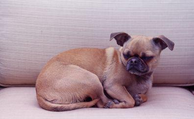 Chihuahua, pug, dog, relaxe