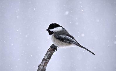 Great tit winter bird