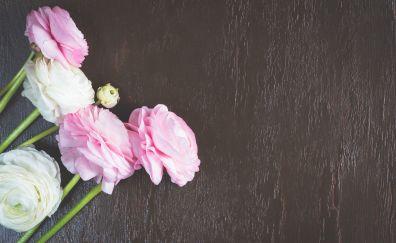 Ranunkeln, pink & white flowers