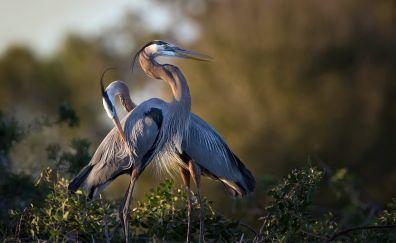 Heron, bird, water bird, long beak birds