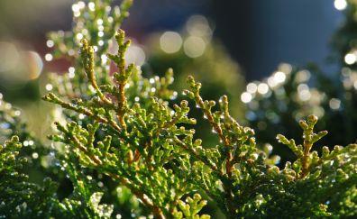 Cypress leaves, drops, bokeh