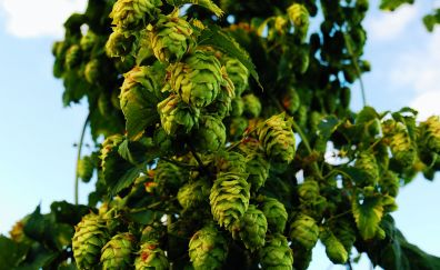 Hops tree branch, close up