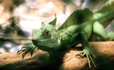 Common Basilisk, green lizard, reptile