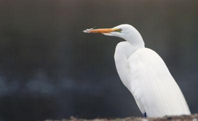 Egret, white sea bird, sitting