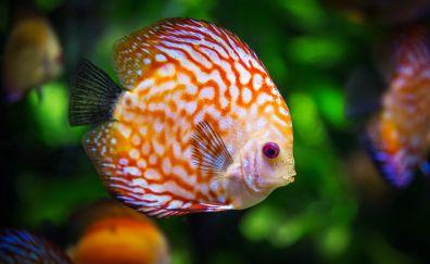 Discus fish, colorful fish