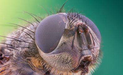 Green fly, eye, macro
