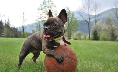 French bulldog, ball, play, puppy