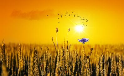 Cornflower, summer field, sunset