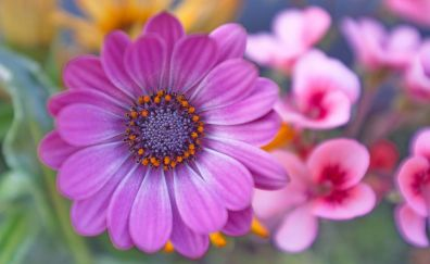 Purple Daisy flower, close up