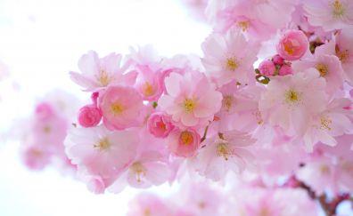 Japanese cherry flowers, spring, pink