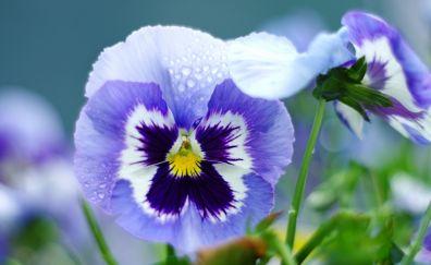 Pansy, purple flower, drops, close up