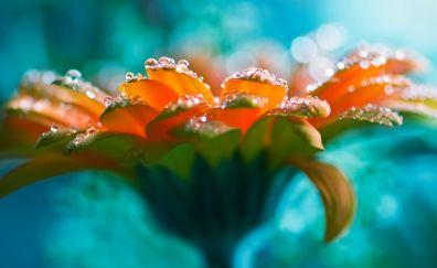 Gerbera flowers, water drop, close up