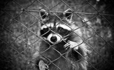 Raccoon animal, monochrome