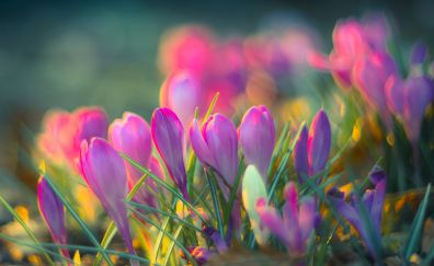 Spring, pink flower, crocus field, blur