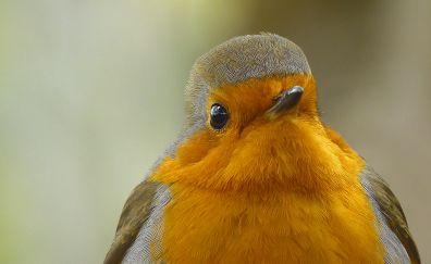 Robin bird, muzzle, close up