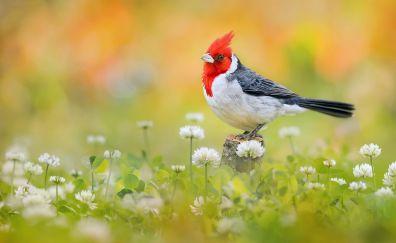 Red-crested cardinal, Cardinal, bird, @ meadow