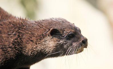 Otter, water animal, wet body