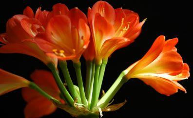 Flower, Clivia miniata, close up