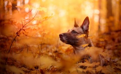 Malinois dog in forest