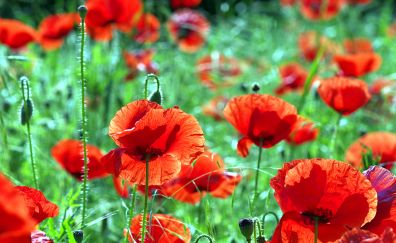 Poppies, red flowers farm, meadow