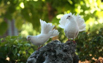 Dove, white birds, pair
