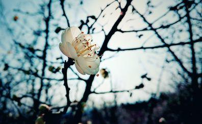 Plum blossom, winter, white flower