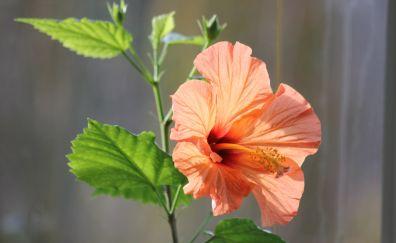 Hibiscus flower, close up