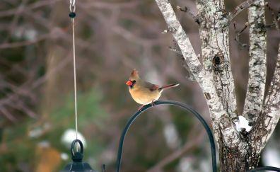Cardinal, cute, small bird, bur