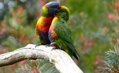 Rainbow lorikeet birds, couple