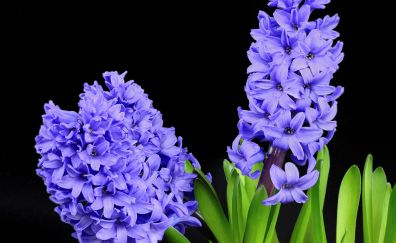 Hyacinth flowers, purple