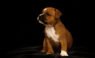 Puppy, Adorable, Staffordshire Bull Terrier dog