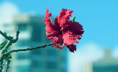 Pink flower, Hibiscus