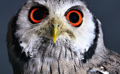 Bird, predator, owl muzzle