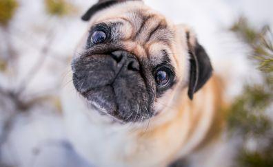 Pug muzzle, pet dog, cute