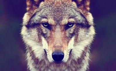 Predator, Wolf muzzle, animal, close up