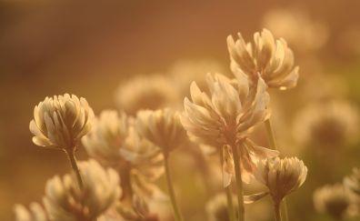 Clover flower, white flower