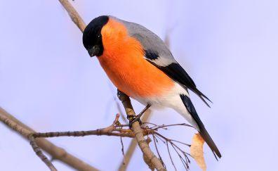 Eurasian bullfinch, orange bird