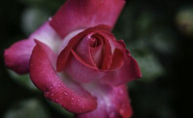 Pink rose, droplets, flower, bloom