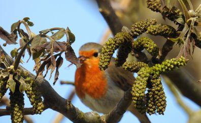 European robin, bird, tree branch, blur
