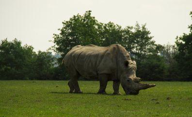 Rhinoceros, wild animal, horns