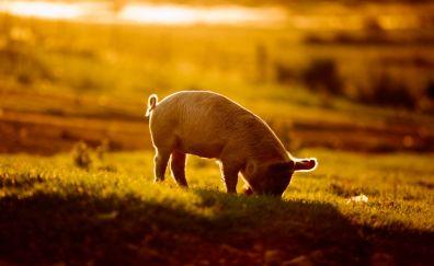 Baby pig, sunlight, landscape