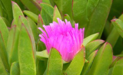 Pink flower, leaves