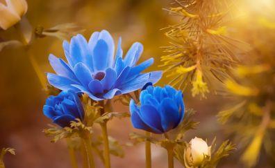 Anemone, blue flowers, blossom, blur