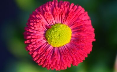 Daisy, Red bloom, flower